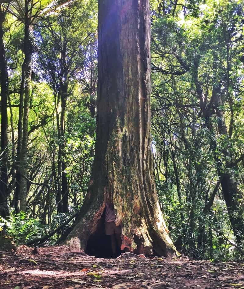 a man inside a large tree
