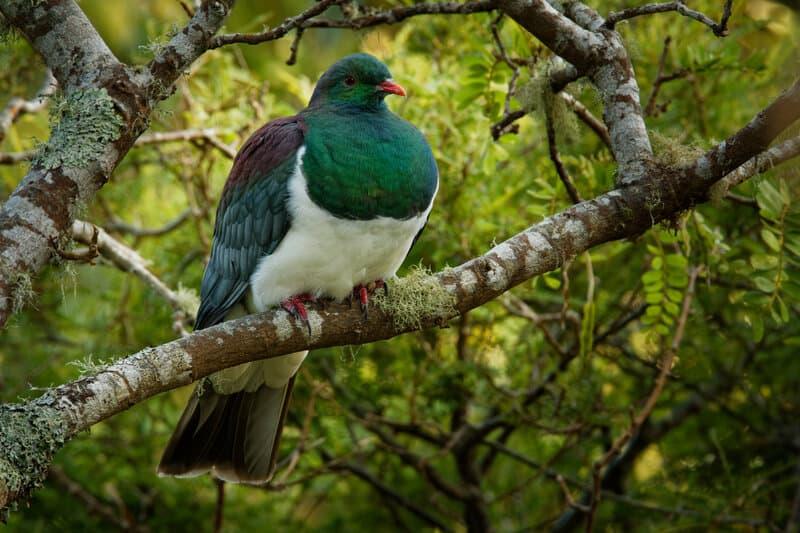 New Zealand pigeon - Hemiphaga novaeseelandiae - kereru sitting and feeding in the tree in New Zealand. Green endemic pigeon